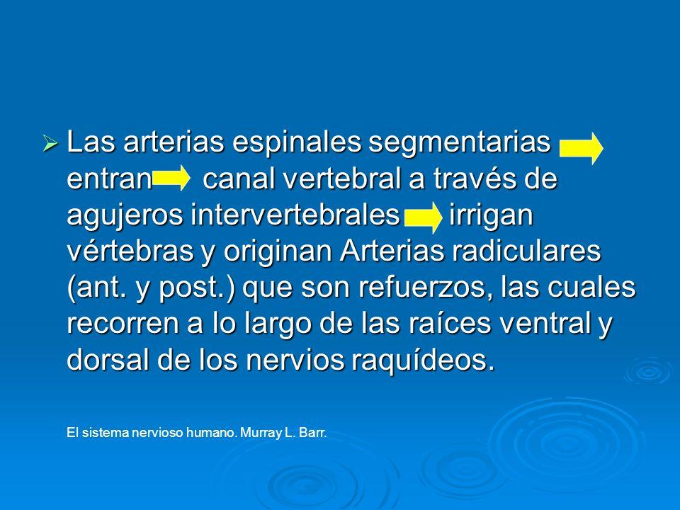 Las arterias espinales segmentarias entran canal vertebral a través de agujeros intervertebrales irrigan vértebras y originan Arterias radiculares (ant. y post.) que son refuerzos, las cuales recorren a lo largo de las raíces ventral y dorsal de los nervios raquídeos.