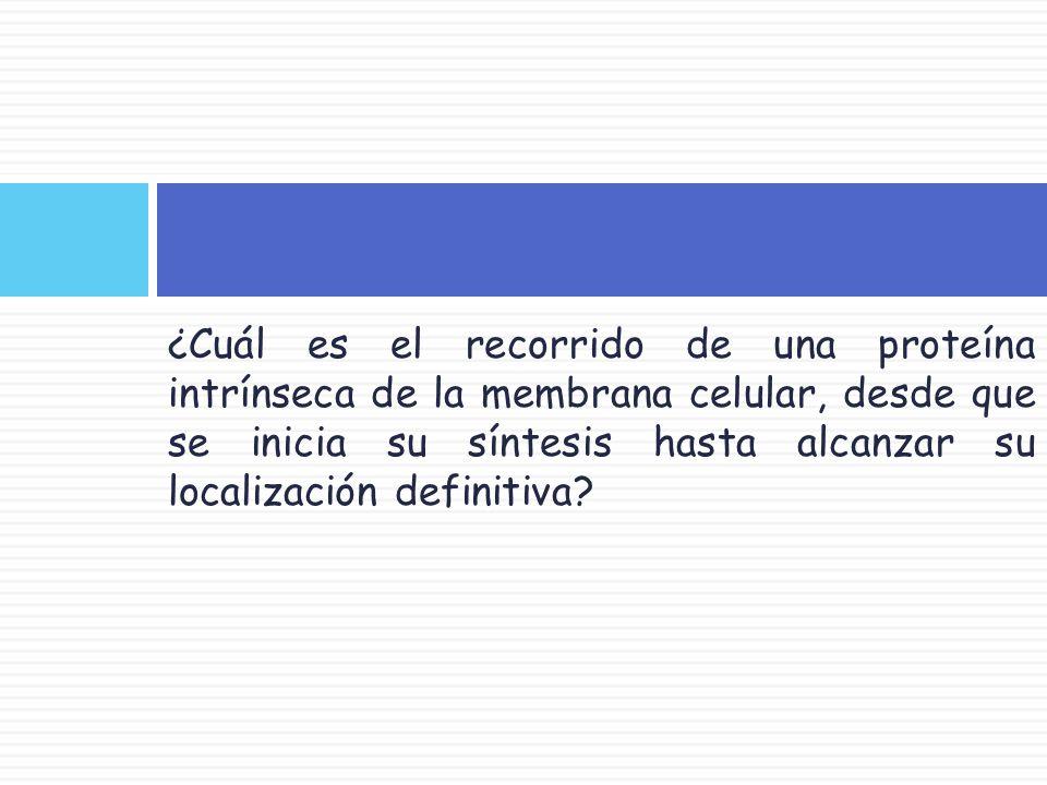 ¿Cuál es el recorrido de una proteína intrínseca de la membrana celular, desde que se inicia su síntesis hasta alcanzar su localización definitiva