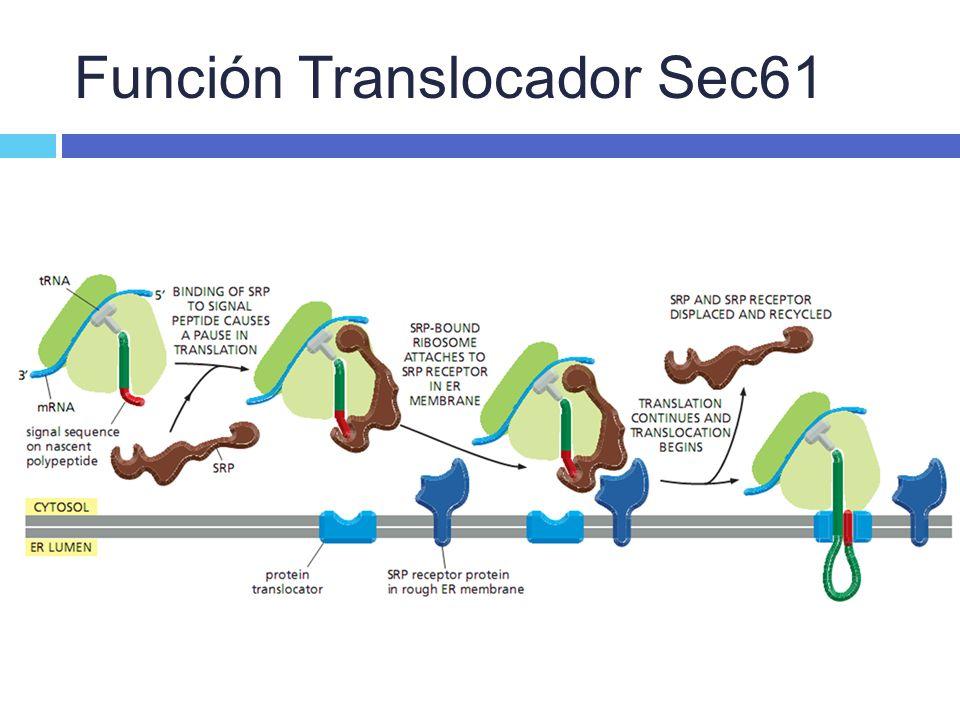 Función Translocador Sec61