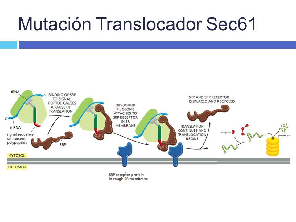 Mutación Translocador Sec61