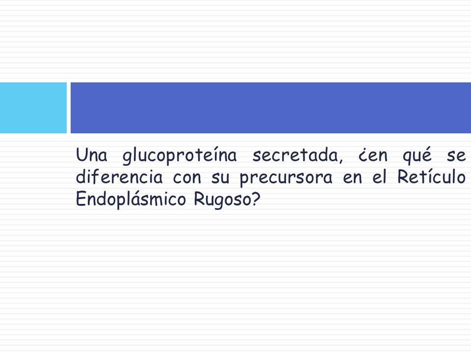 Una glucoproteína secretada, ¿en qué se diferencia con su precursora en el Retículo Endoplásmico Rugoso