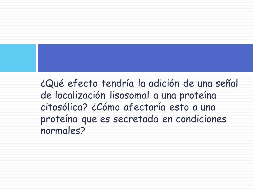 ¿Qué efecto tendría la adición de una señal de localización lisosomal a una proteína citosólica.