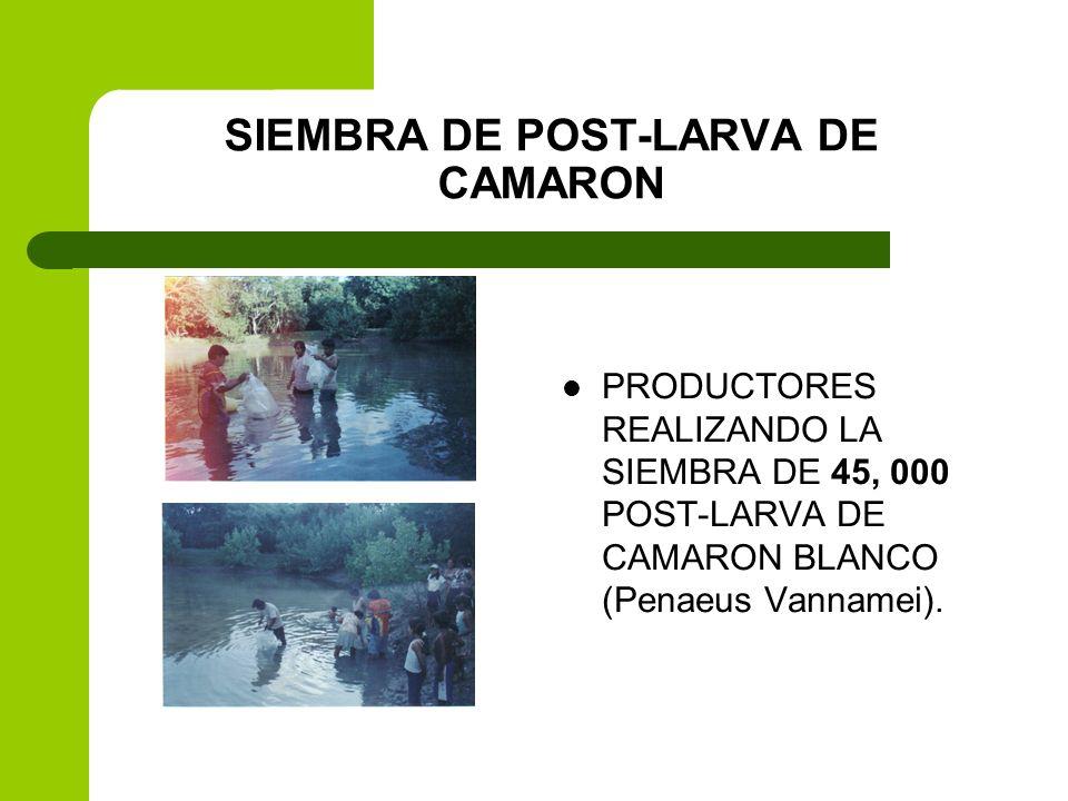SIEMBRA DE POST-LARVA DE CAMARON