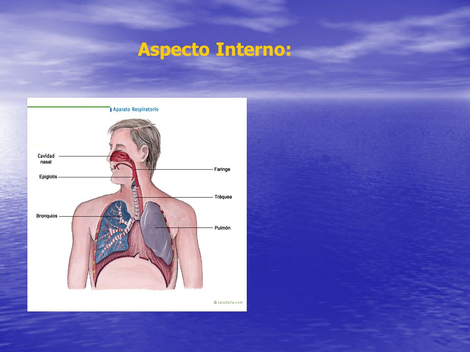 Aspecto Interno: Aparato respiratorio