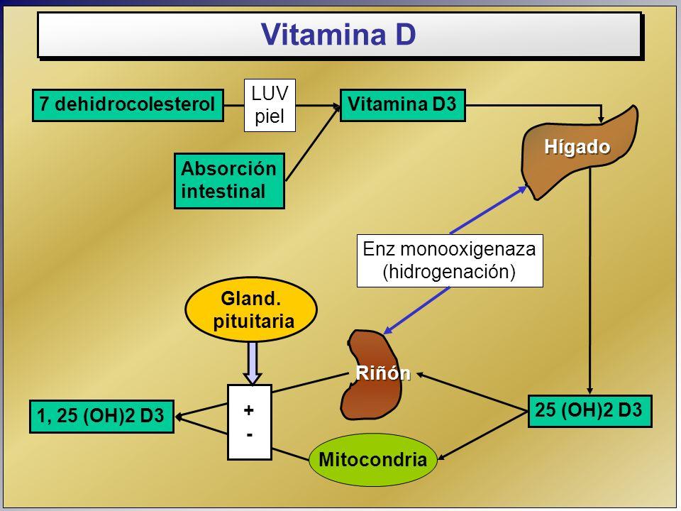 Vitamina D LUV piel 7 dehidrocolesterol Vitamina D3 Hígado Absorción