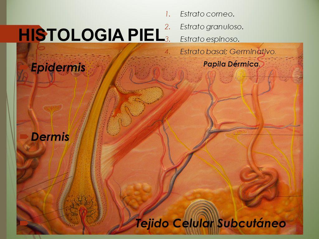 HISTOLOGIA PIEL Epidermis Dermis Tejido Celular Subcutáneo