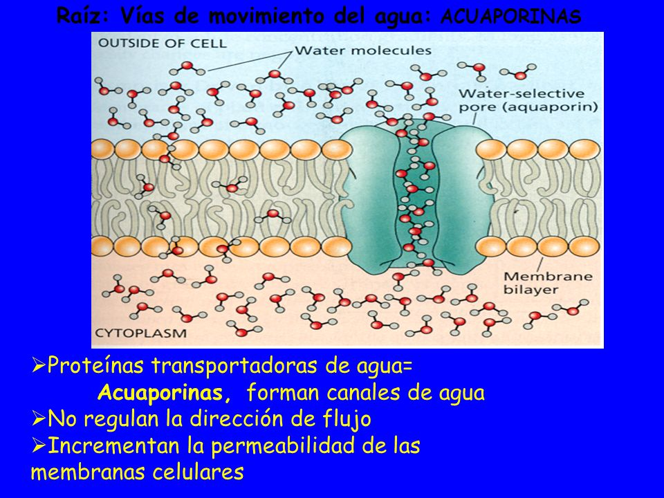 Raíz: Vías de movimiento del agua: ACUAPORINAS