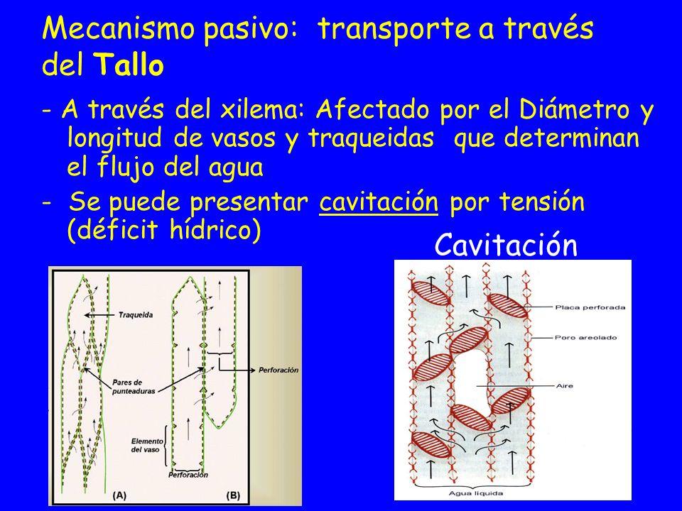 Mecanismo pasivo: transporte a través del Tallo