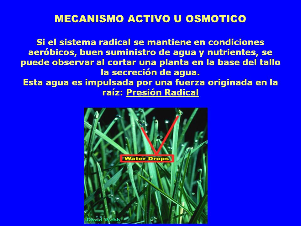 MECANISMO ACTIVO U OSMOTICO Si el sistema radical se mantiene en condiciones aeróbicos, buen suministro de agua y nutrientes, se puede observar al cortar una planta en la base del tallo la secreción de agua.