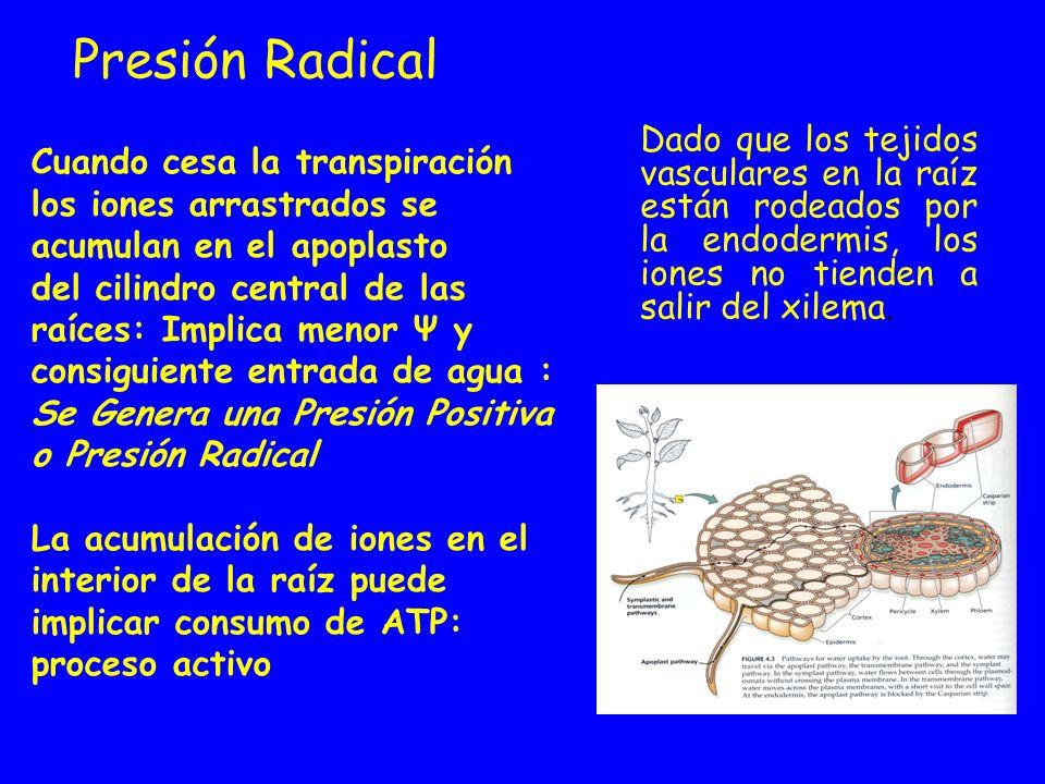 Presión Radical Dado que los tejidos vasculares en la raíz están rodeados por la endodermis, los iones no tienden a salir del xilema.