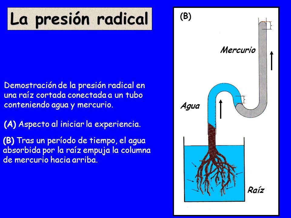 La presión radical (A) (B) Mercurio
