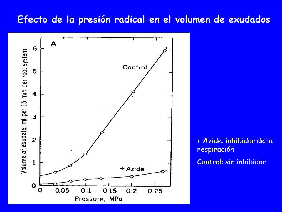 Efecto de la presión radical en el volumen de exudados