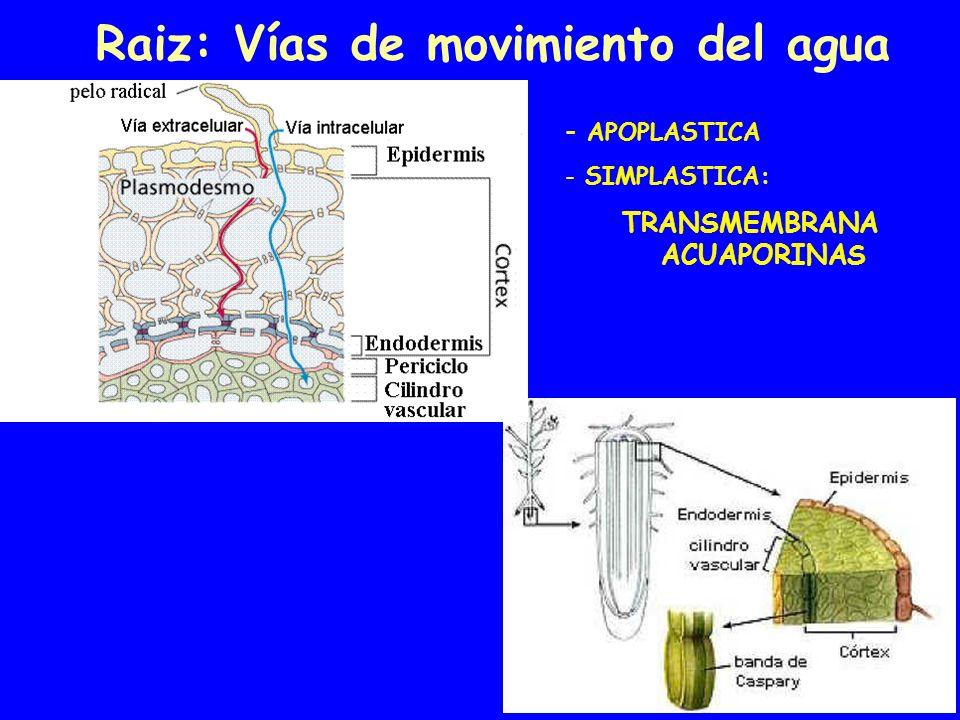 Raiz: Vías de movimiento del agua