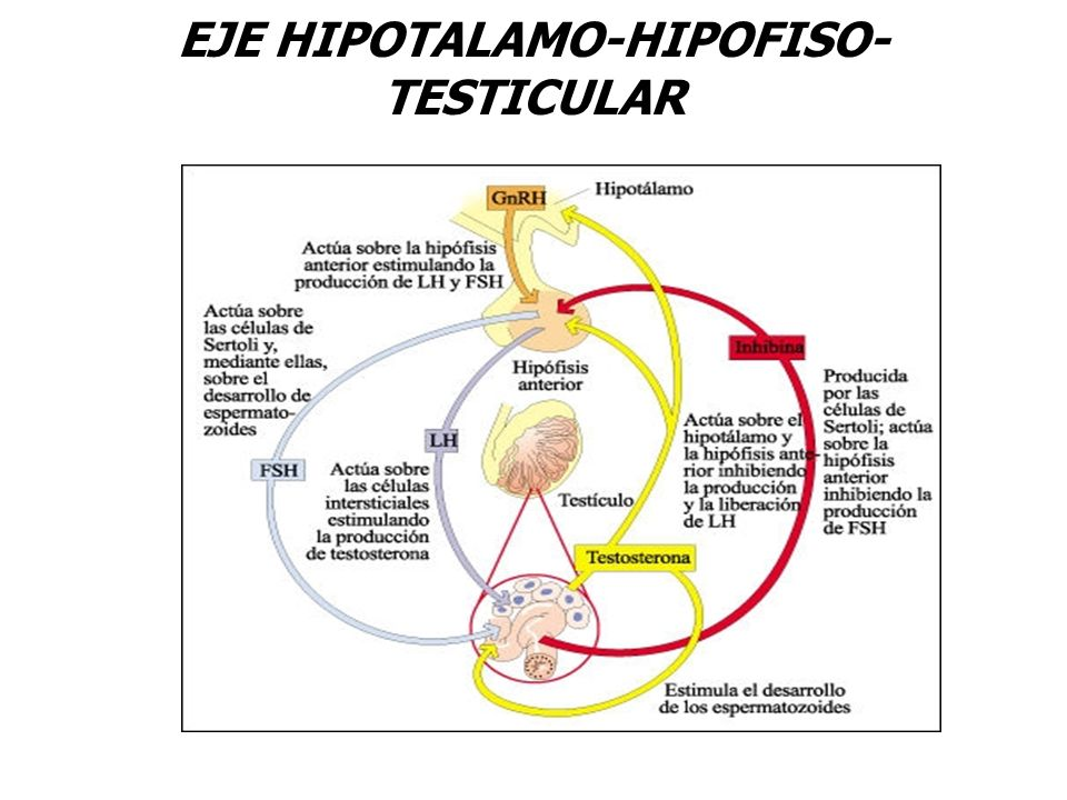 EJE HIPOTALAMO-HIPOFISO-TESTICULAR