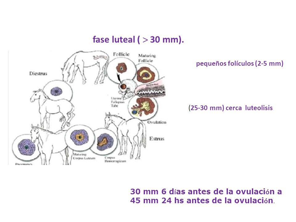 fase luteal (  30 mm). pequeños folículos (2-5 mm)