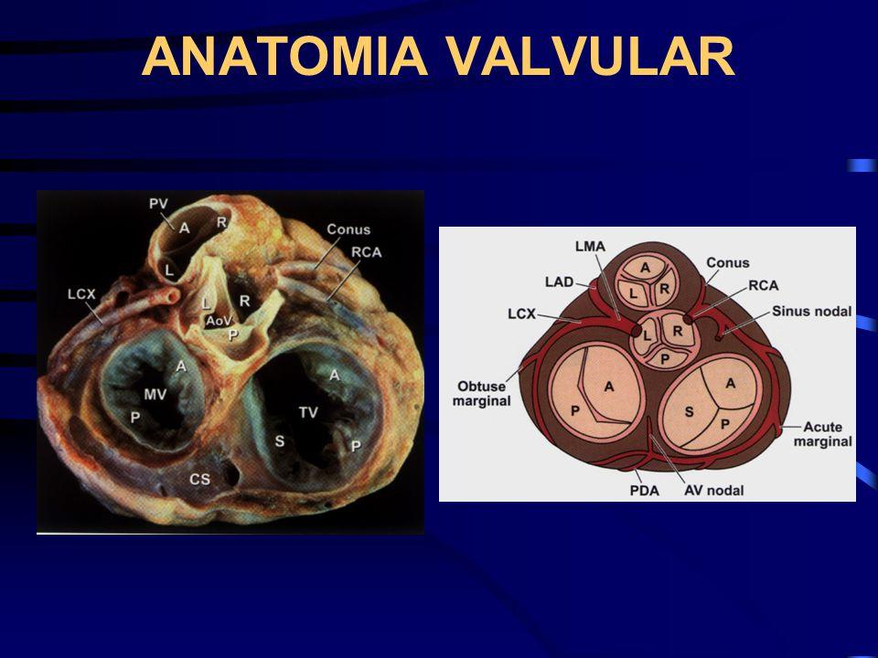 Excepcional Anatomía De La Válvula Cardíaca Componente - Imágenes de ...