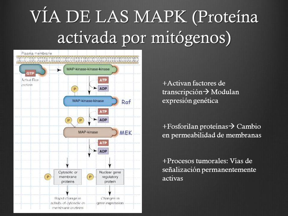 VÍA DE LAS MAPK (Proteína activada por mitógenos)