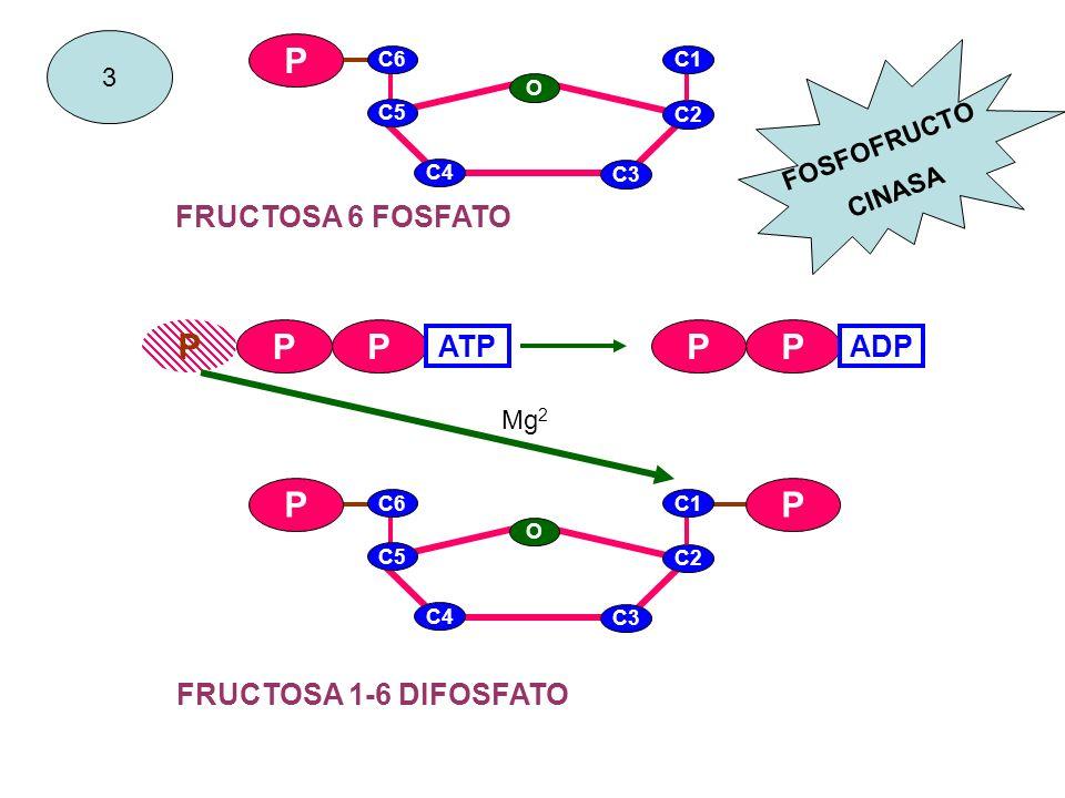 P P P P P FRUCTOSA 6 FOSFATO ATP ADP FRUCTOSA 1-6 DIFOSFATO 3