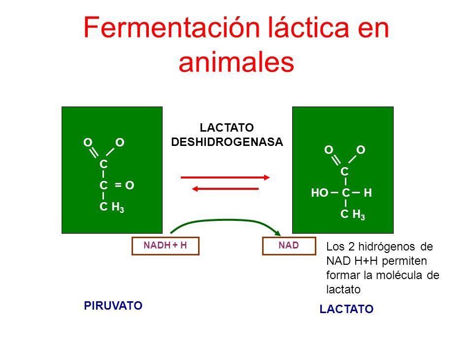 Fermentación láctica en animales