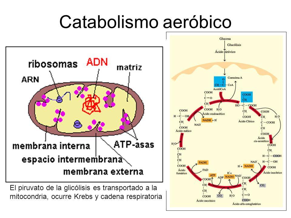 Catabolismo aeróbico El piruvato de la glicólisis es transportado a la mitocondria, ocurre Krebs y cadena respiratoria.