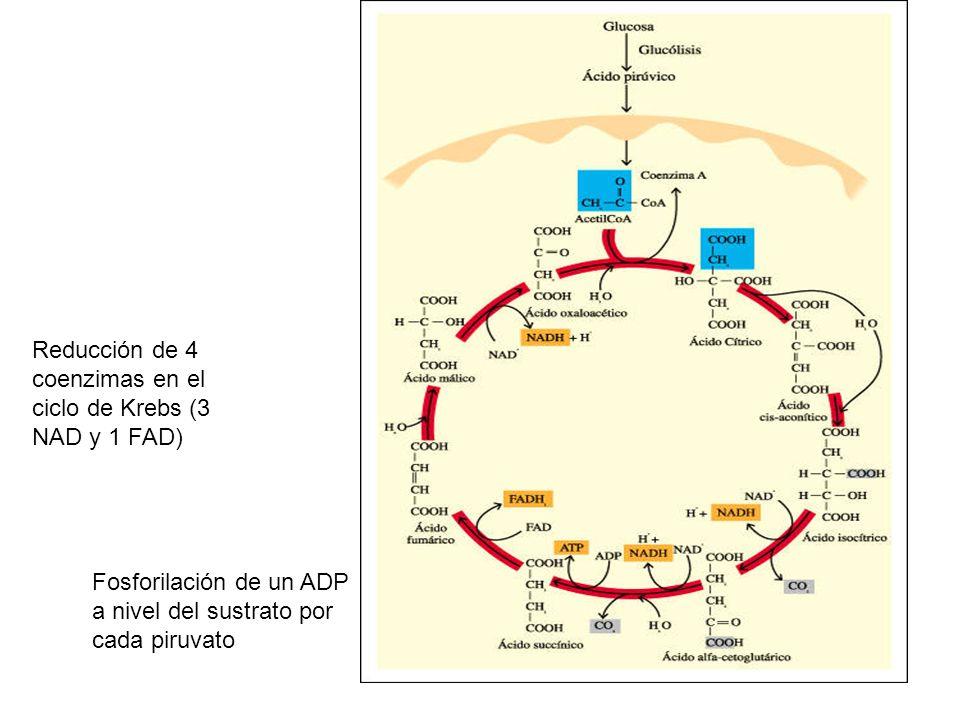 Reducción de 4 coenzimas en el ciclo de Krebs (3 NAD y 1 FAD)