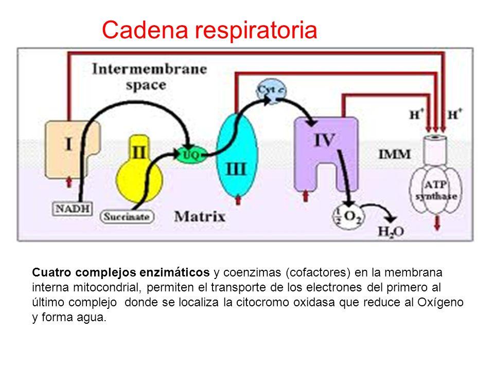Cadena respiratoria