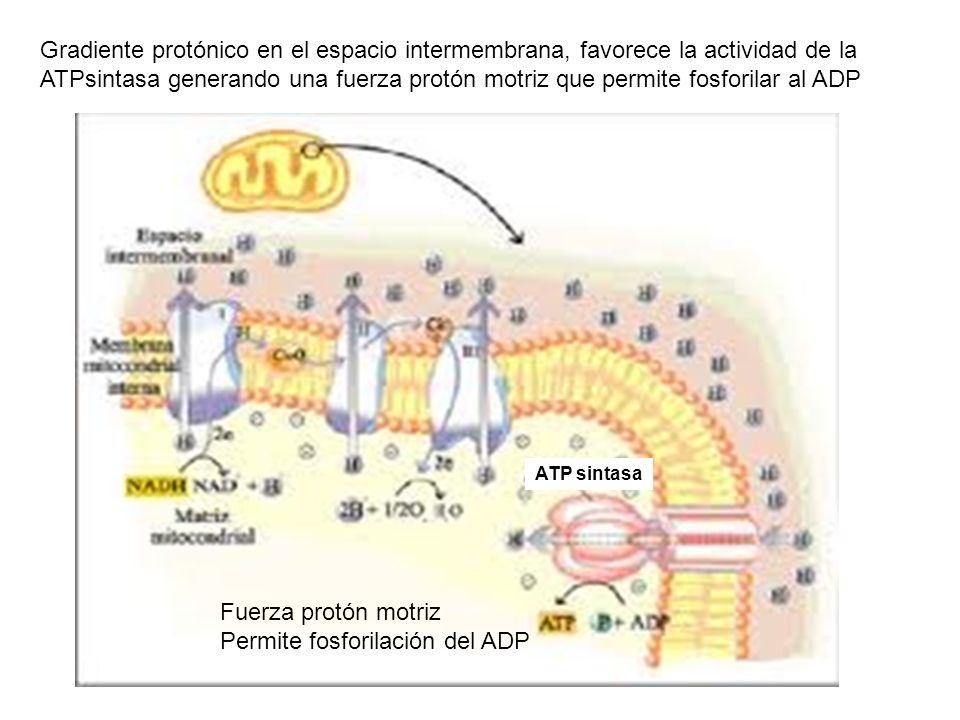 Permite fosforilación del ADP