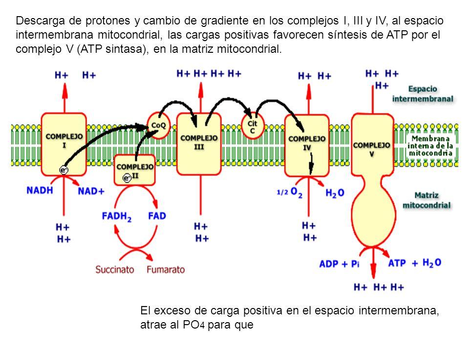 Descarga de protones y cambio de gradiente en los complejos I, III y IV, al espacio intermembrana mitocondrial, las cargas positivas favorecen síntesis de ATP por el complejo V (ATP sintasa), en la matriz mitocondrial.