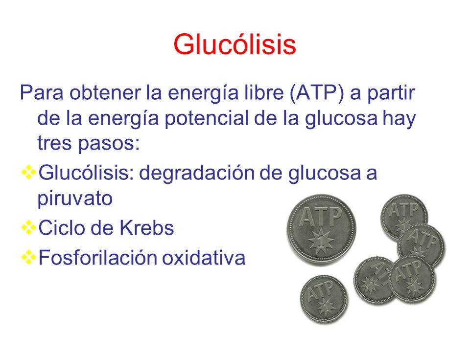 Glucólisis Para obtener la energía libre (ATP) a partir de la energía potencial de la glucosa hay tres pasos: