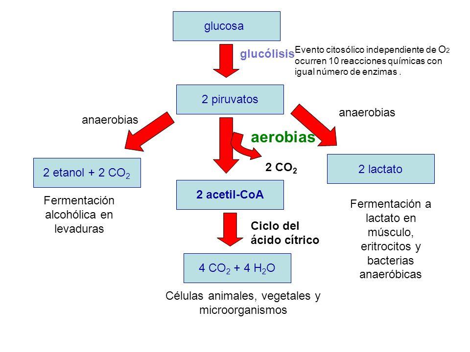 aerobias glucosa glucólisis 2 piruvatos anaerobias anaerobias 2 CO2