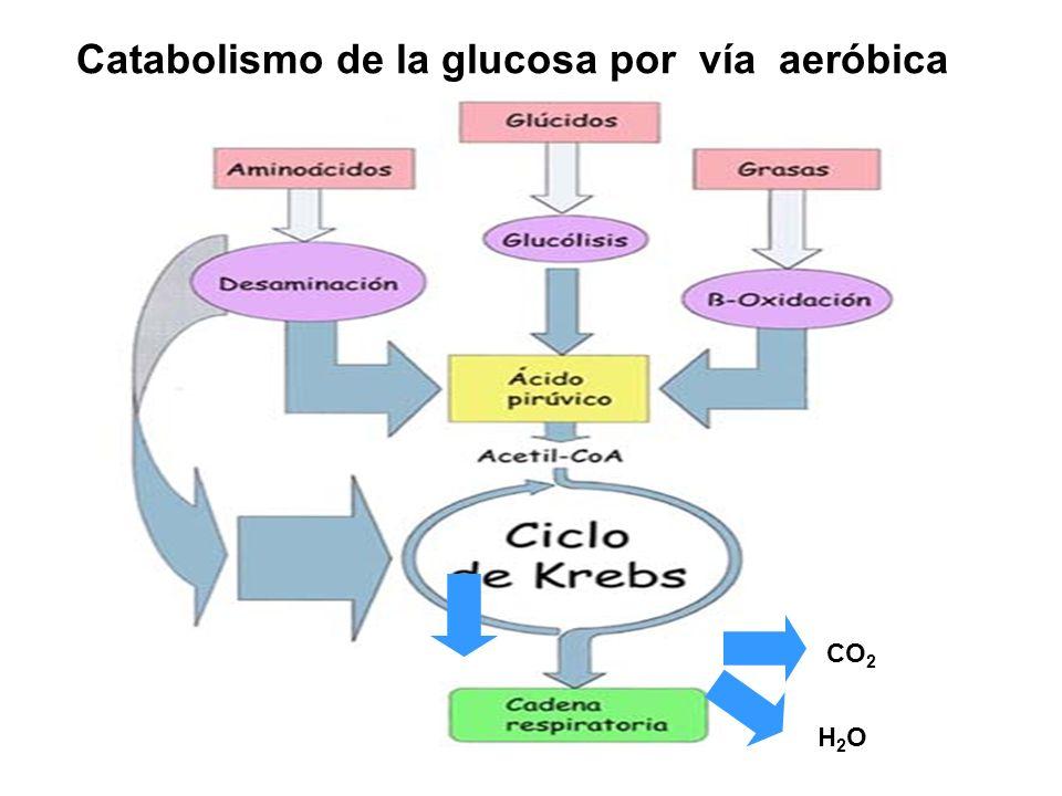 Catabolismo de la glucosa por vía aeróbica