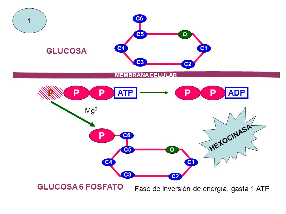 P P P P GLUCOSA ATP ADP GLUCOSA 6 FOSFATO 1 Mg2 HEXOCINASA