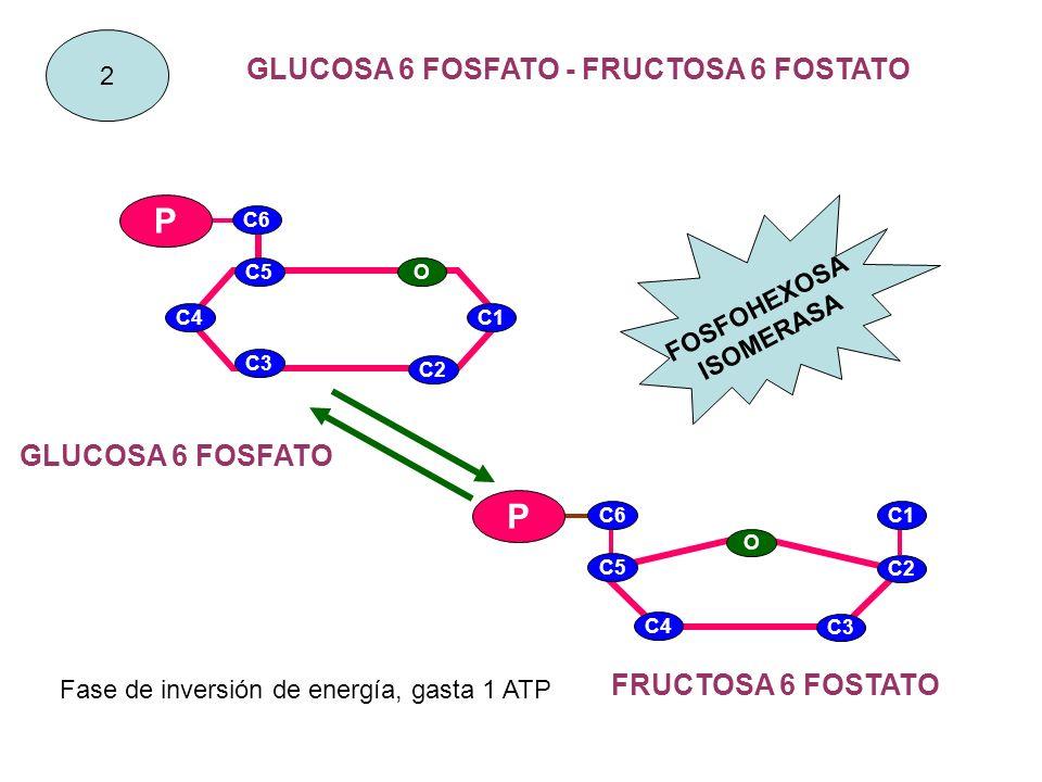 GLUCOSA 6 FOSFATO - FRUCTOSA 6 FOSTATO FOSFOHEXOSA ISOMERASA