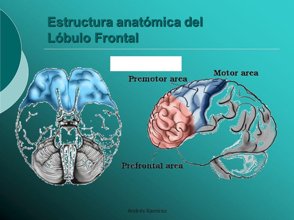 Estructura anatómica del Lóbulo Frontal
