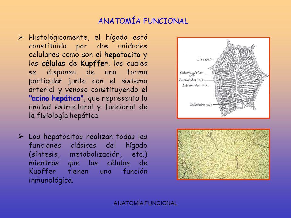 Lujo Anatomía Y Funciones De La Célula Bosquejo - Anatomía de Las ...