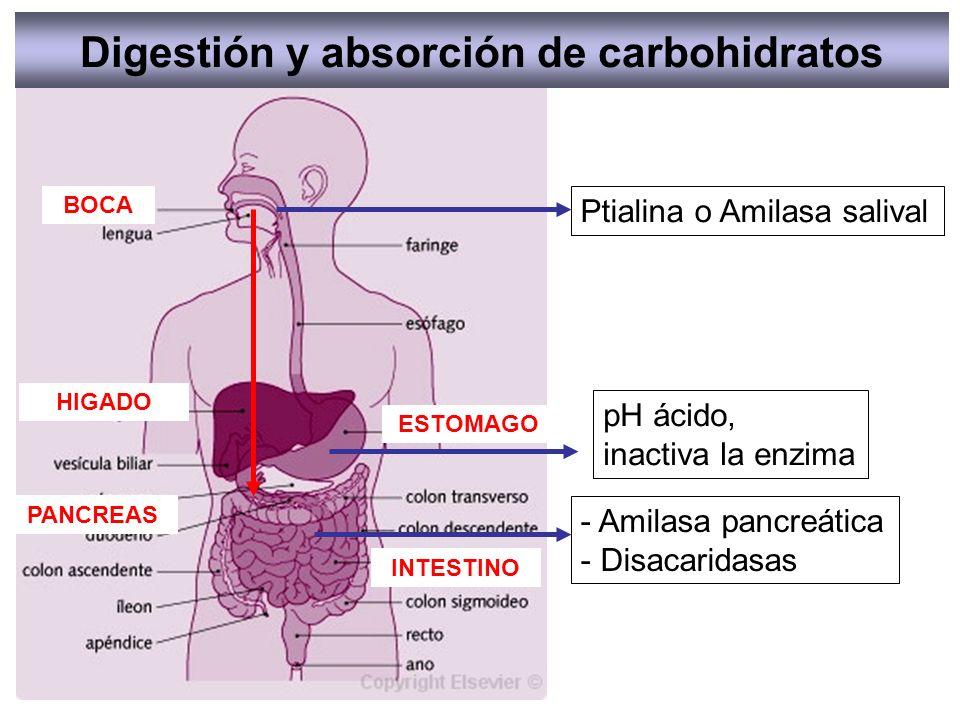 Digestión y absorción de carbohidratos