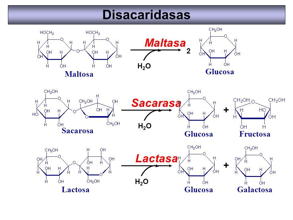 Disacaridasas Maltasa Sacarasa Lactasa + + Maltosa Glucosa Sacarosa