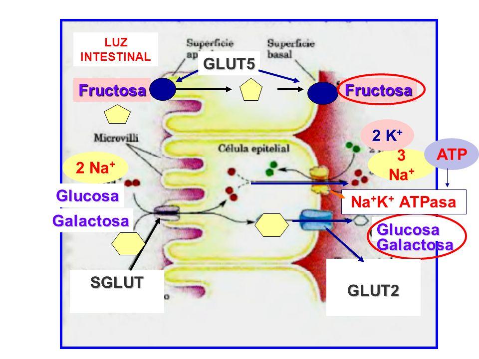2 K+ ATP 3 Na+ 2 Na+ Na+K+ ATPasa GLUT2 SGLUT
