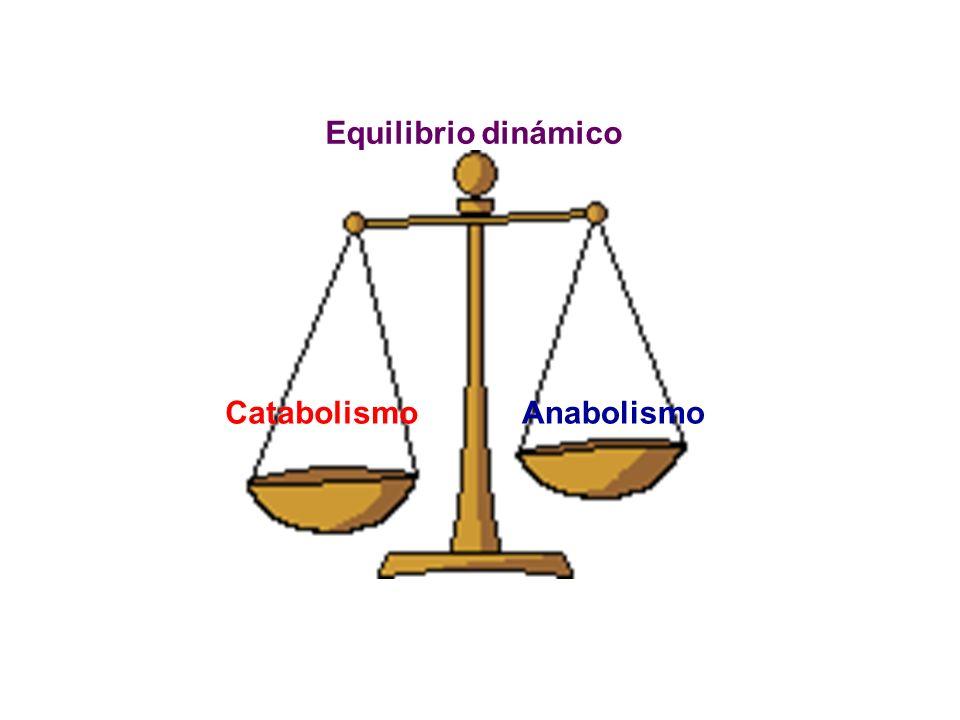 Equilibrio dinámico Catabolismo Anabolismo