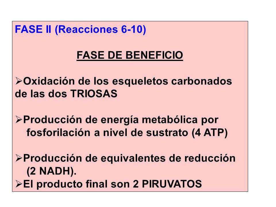 FASE II (Reacciones 6-10) FASE DE BENEFICIO. Oxidación de los esqueletos carbonados de las dos TRIOSAS.
