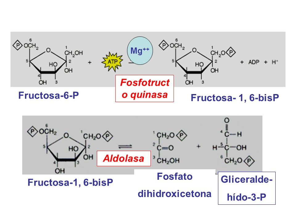 Fosfotructo quinasa Fructosa-6-P Fructosa- 1, 6-bisP Aldolasa Fosfato