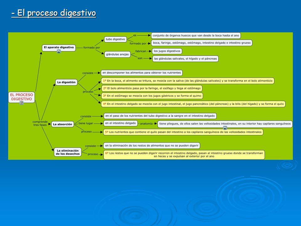 - El proceso digestivo