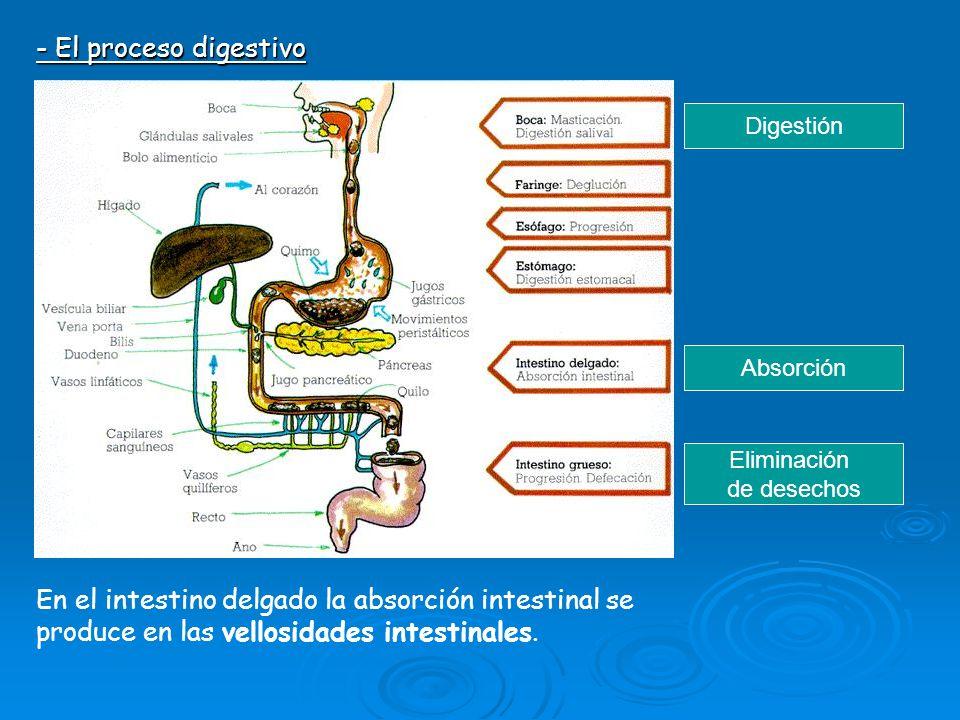 - El proceso digestivo Digestión. Absorción. Eliminación. de desechos.