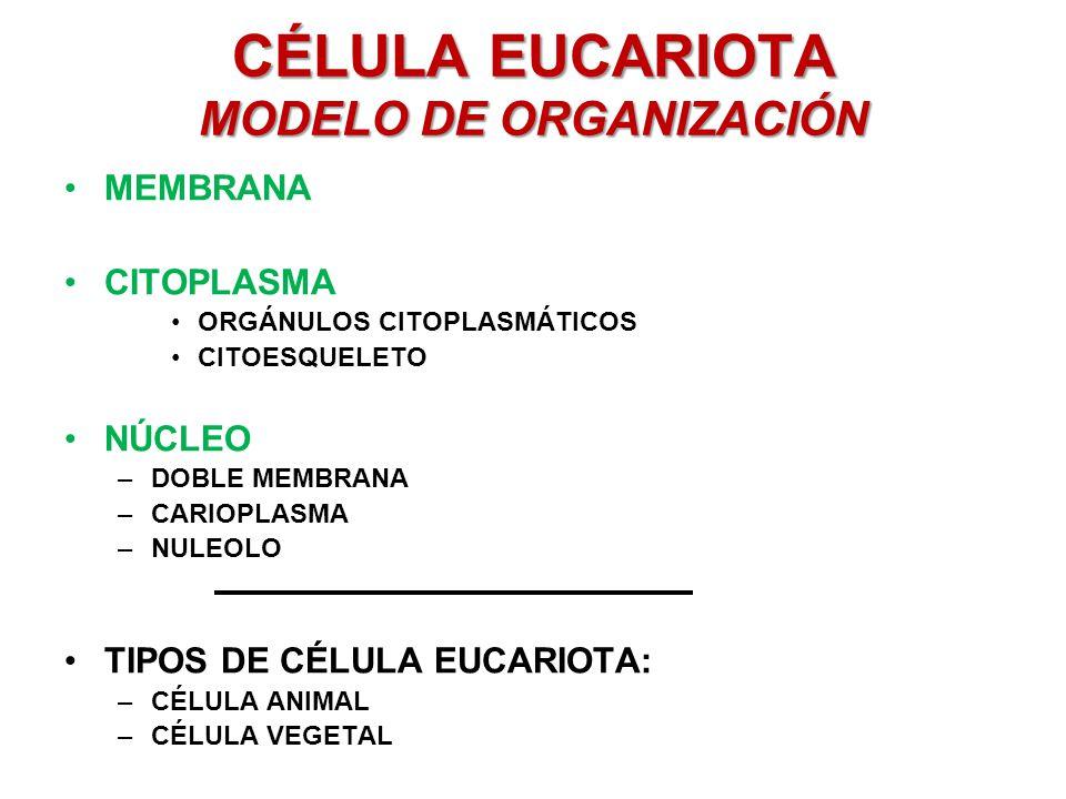 CÉLULA EUCARIOTA MODELO DE ORGANIZACIÓN