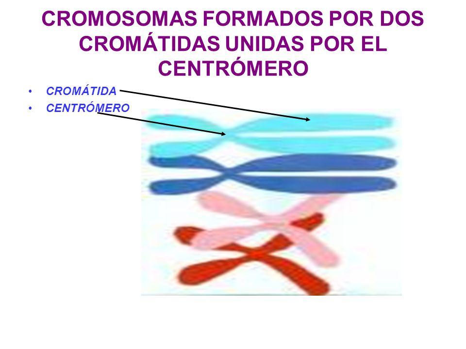 CROMOSOMAS FORMADOS POR DOS CROMÁTIDAS UNIDAS POR EL CENTRÓMERO