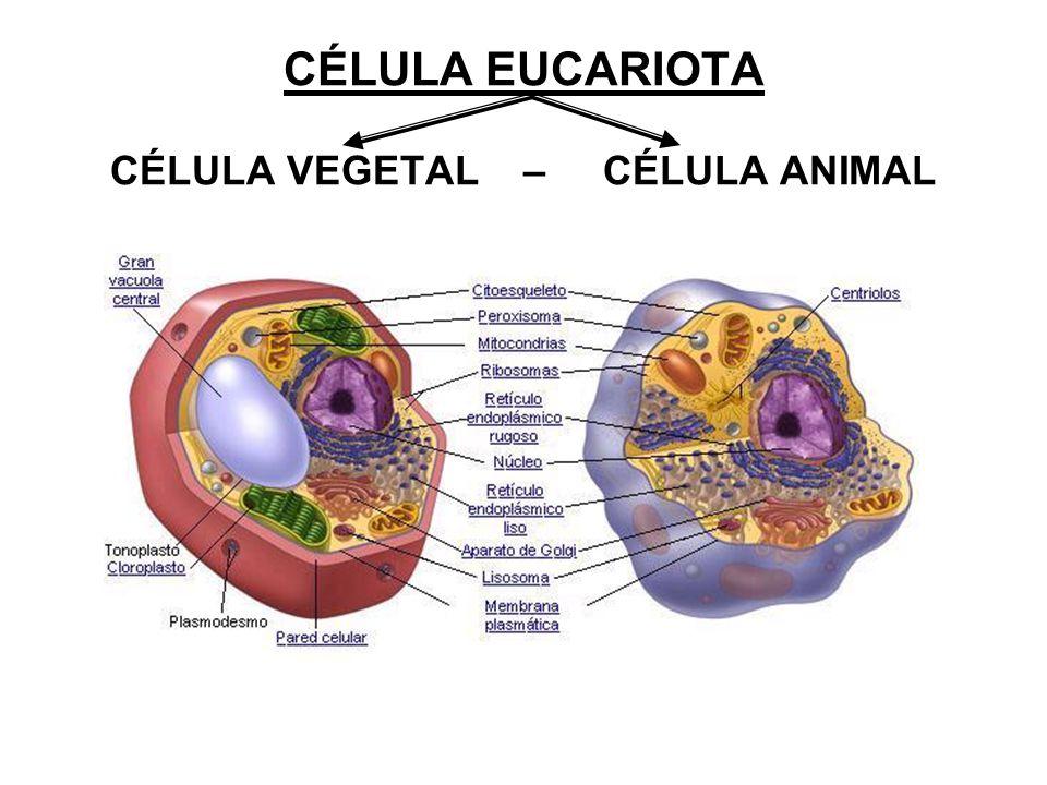 CÉLULA EUCARIOTA CÉLULA VEGETAL – CÉLULA ANIMAL
