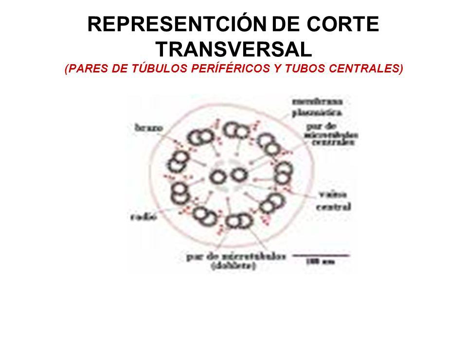 REPRESENTCIÓN DE CORTE TRANSVERSAL (PARES DE TÚBULOS PERÍFÉRICOS Y TUBOS CENTRALES)