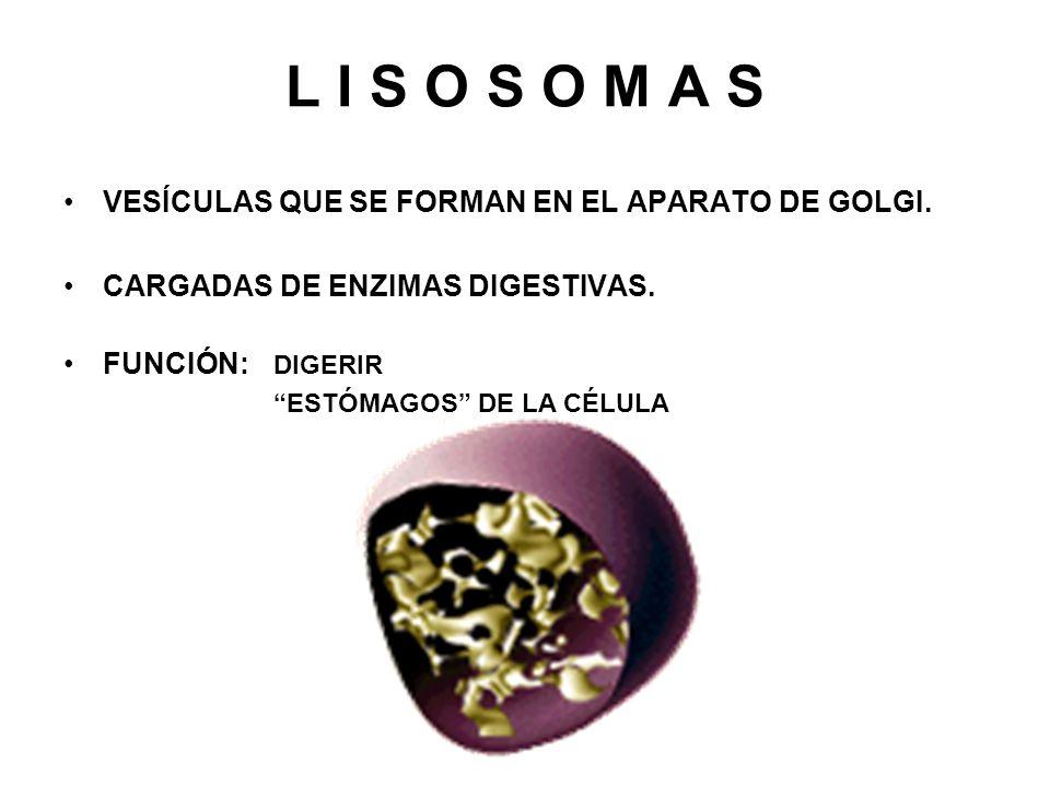 L I S O S O M A S VESÍCULAS QUE SE FORMAN EN EL APARATO DE GOLGI.