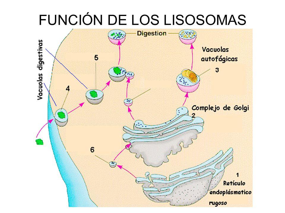 FUNCIÓN DE LOS LISOSOMAS