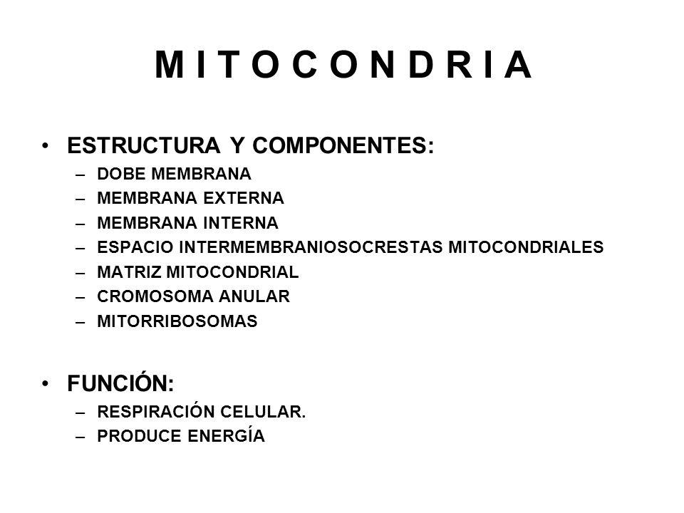 M I T O C O N D R I A ESTRUCTURA Y COMPONENTES: FUNCIÓN: DOBE MEMBRANA